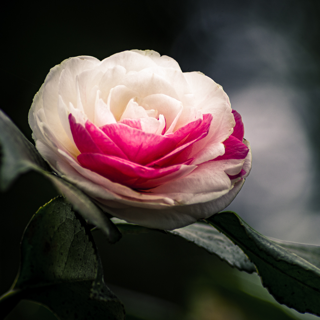 Pepermint Camellia - a Floral Portrait by Scott Thomas